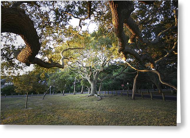 Tree In St. Augustine Park Greeting Card