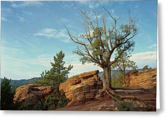 Tree In The Rocks Greeting Card
