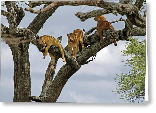 Tree Lions Greeting Card by Tony Murtagh