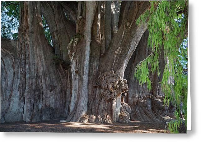Tree Of Tule Greeting Card by Jim West