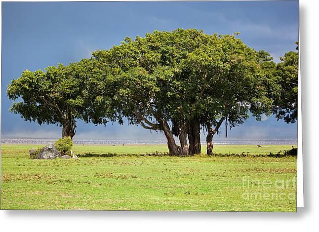 Tree On Savannah. Ngorongoro In Tanzania Greeting Card by Michal Bednarek