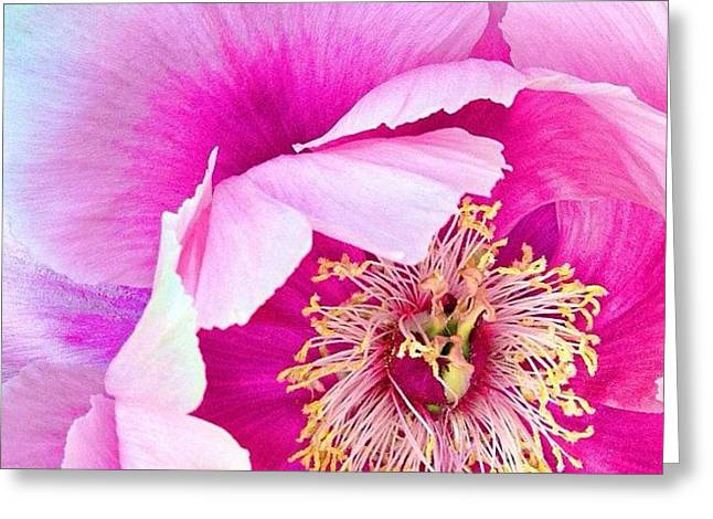 Tree Peony....what An Amazing Flower Greeting Card