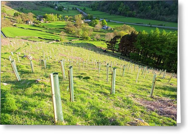 Tree Planting Above Thirlmere Greeting Card by Ashley Cooper