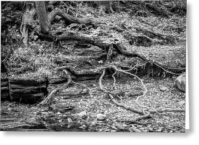 Tree Roots George W Childs National Park Painted Bw   Greeting Card by Rich Franco