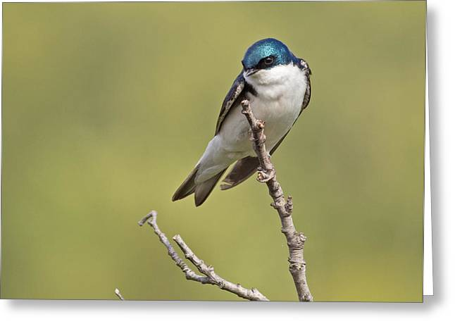 Tree Swallow Greeting Card by Brian Magnier