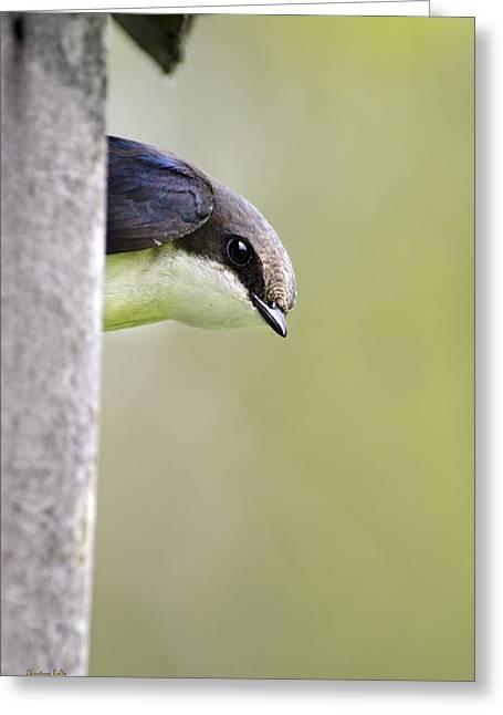 Tree Swallow Closeup Greeting Card by Christina Rollo