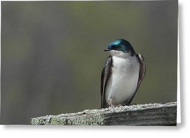 Tree Swallow  Greeting Card by James Hammen