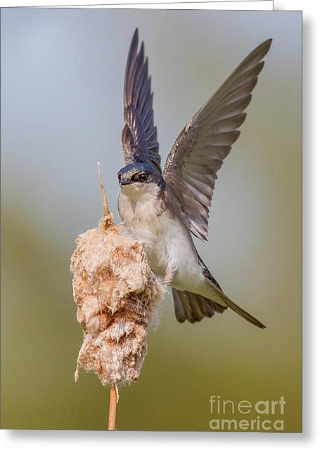 Tree Swallow Landing On Cattail Greeting Card by Jerry Fornarotto
