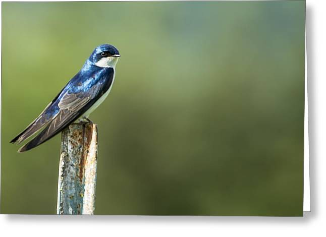 Tree Swallow Sitting On A Post Greeting Card by Belinda Greb