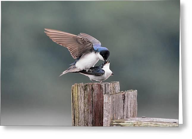 Tree Swallows Mating 2 Greeting Card