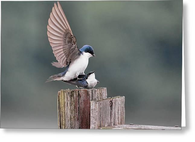 Tree Swallows Mating 3 Greeting Card by Jai Johnson