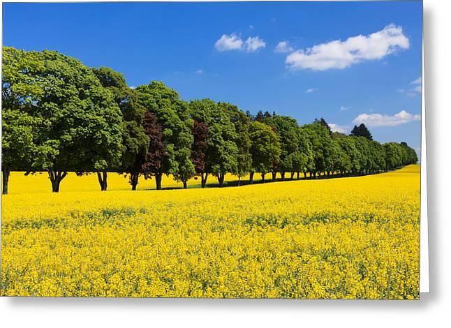Treelined In An Oilseed Rape Field Greeting Card