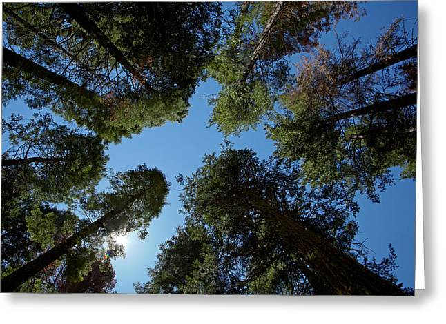 Trees At Tuolumne Sequoia Grove Greeting Card