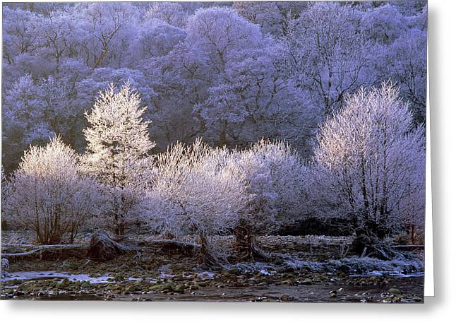 Trees Covered With Hoar Frost Greeting Card