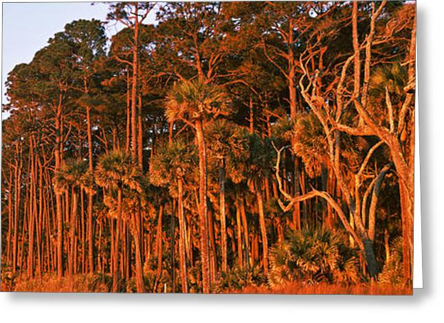 Trees, Hunting Island State Park Greeting Card by Panoramic Images