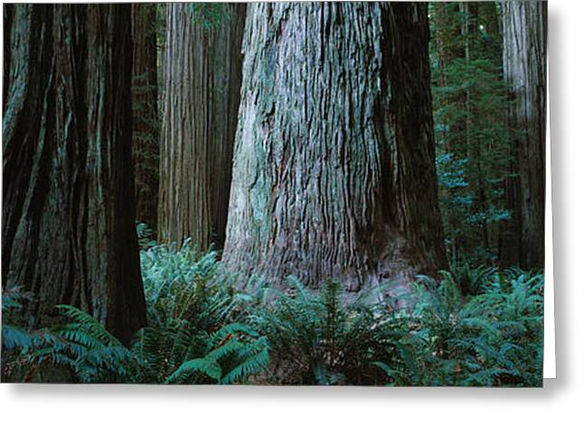 Trees In A Forest, Jedediah Smith Greeting Card