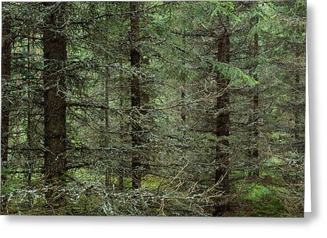 Trees In A Forest, Spruce Forest Greeting Card