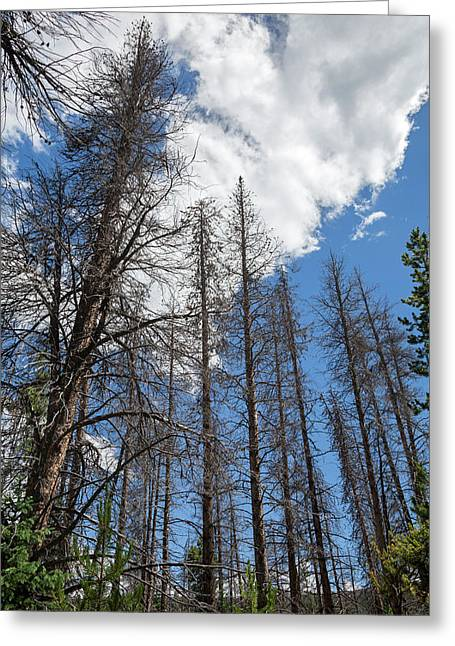 Trees Killed By Pine Beetle Outbreak Greeting Card by Jim West
