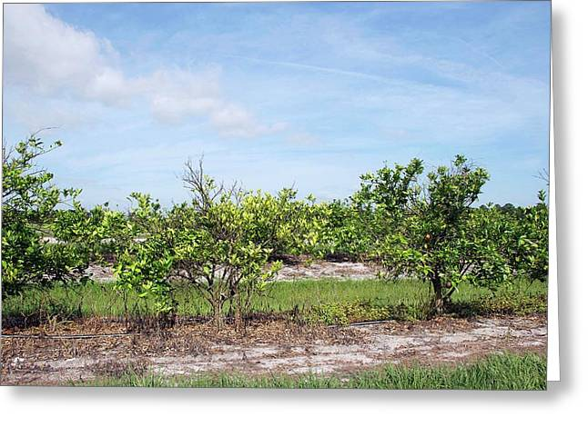 Trees With Citrus Greening Disease Greeting Card