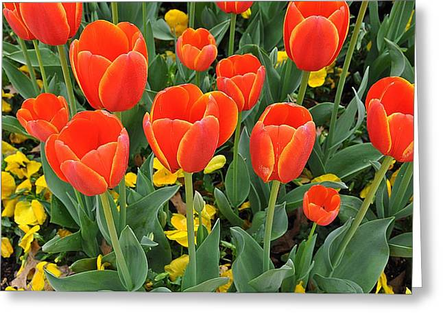 Trendy Tulips  Greeting Card