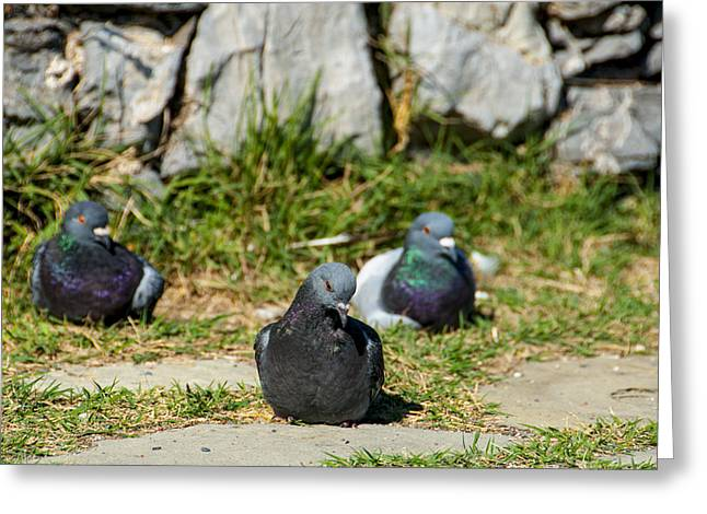 Tres Pigeons Greeting Card