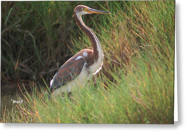 Greeting Card featuring the photograph Tri-color Heron by Leticia Latocki