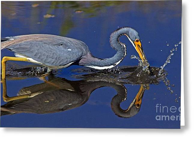 Greeting Card featuring the photograph Tri Color Heron Splash by Larry Nieland