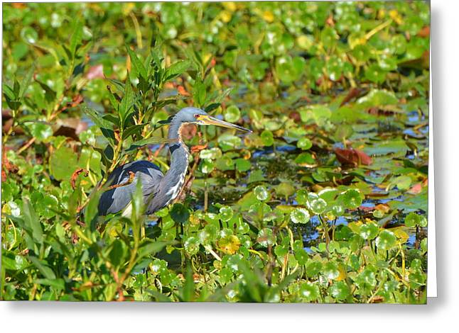 Tri Colored Heron 2 Greeting Card