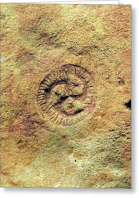 Tribrachidium Fossil Greeting Card by Sinclair Stammers/science Photo Library