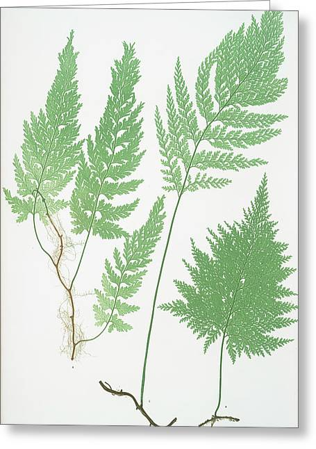Trichomanes Radicans Greeting Card by Litz Collection