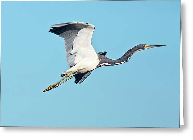 Tricolored Heron In Flight Greeting Card