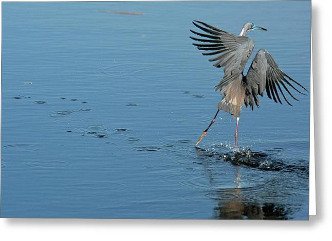 Tricolored Heron Landing On Water Greeting Card