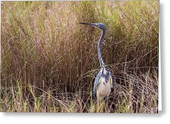 Greeting Card featuring the photograph Tricolored Heron Peeping Over The Rushes by John M Bailey