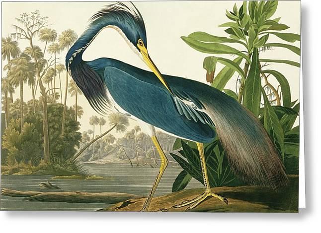 Tricoloured Heron Greeting Card