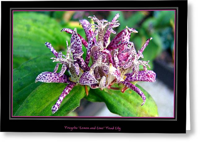 Tricyrtis Hirta Greeting Card