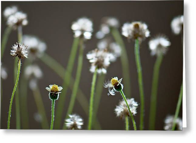 Tridax Daisy (tridax Procumbens) Greeting Card