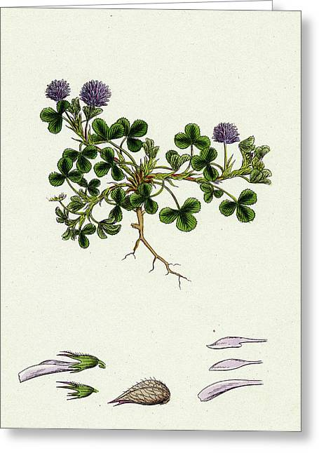 Trifolium Resupinatum Reversed-flowered Trefoil Greeting Card by English School