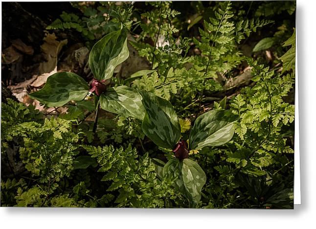 Trilium And Ferns Greeting Card by Jeffrey Frazier