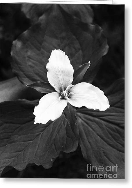 Trillium In Black And White Greeting Card by Cari Gesch