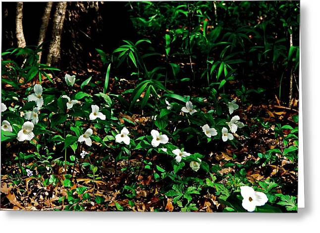 Trillium In Morning Sun Greeting Card by Michelle Calkins