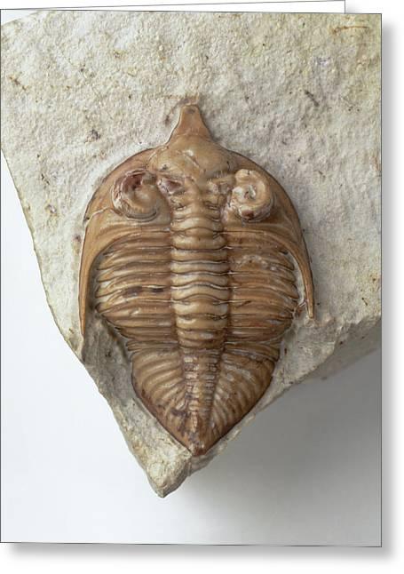 Trilobite Fossil Exoskeleton In Stone Greeting Card