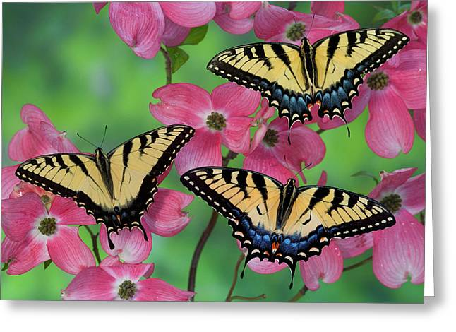 Trio Of Eastern Tiger Swallowtail Greeting Card