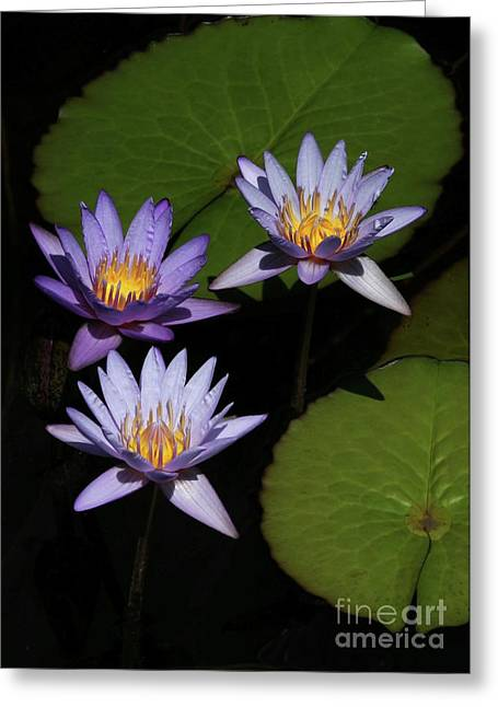 Trio Of Purple Water Lilies Greeting Card by Sabrina L Ryan