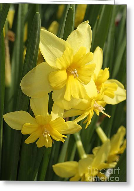 Tripartite Daffodil Greeting Card by Judy Whitton