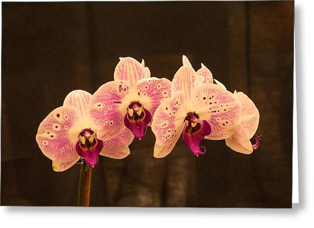 Triple Orchid Arrangement 1 Greeting Card by Douglas Barnett