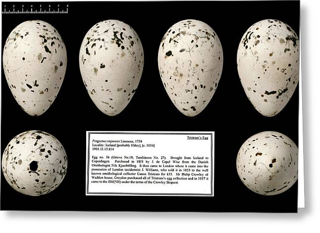 Tristram's Great Auk Egg Greeting Card by Natural History Museum, London