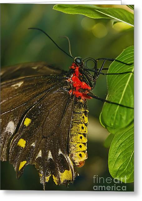 Greeting Card featuring the photograph Troides Helena Butterfly  by Olga Hamilton
