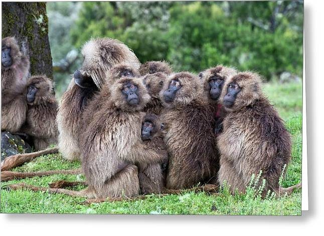 Troop Of Gelada Baboons Huddled Together Greeting Card
