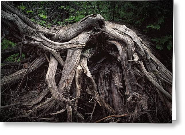 Troots Of A Fallen Tree By Wawa Ontario Greeting Card by Randall Nyhof