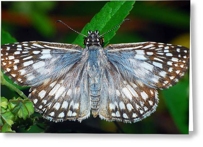 Tropical Checkered Skipper Greeting Card by Larah McElroy